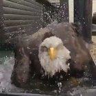 Eagle bath