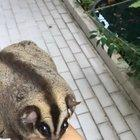 Just a video of my obese 8 yo sugar glider, Sunblock (She is on a diet, don't worry).