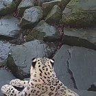 Jesse the Snow leopard notices a new camera in her enclosure