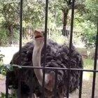 This Ostrich Must Be From South Asia