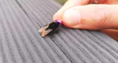I found a tired red-tailed bumblebee so I offered her some lavender and...