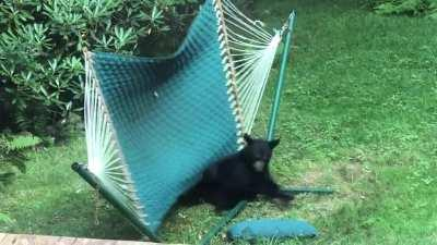 The Baby Bears have gotten very big over the past 2 months! But they still enjoy playing on the hammock!