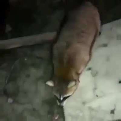 Feeding a raccoon and then ...