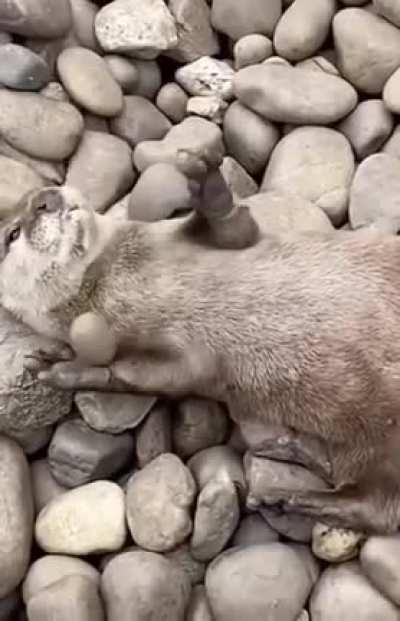 Adorable otter juggling a stone.
