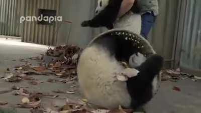This Zookeeper is trying to rake leaves but 2 Panda cubs have other ideas