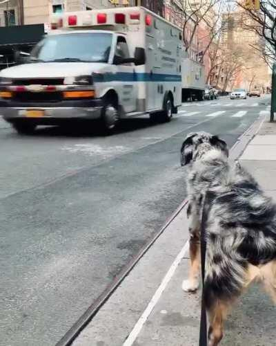 A good boy helping the ambulance with some awoooos