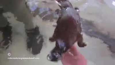 Bro platypus
