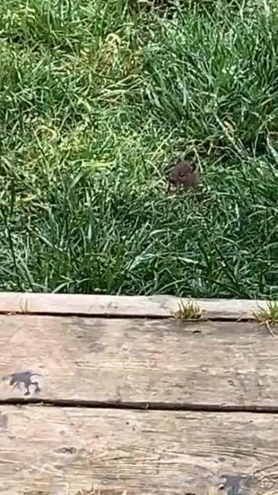 Mouse in the backyard