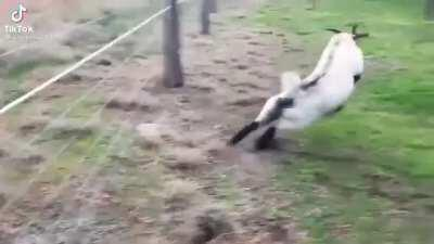 goat fucking dies