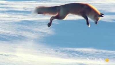 How red foxes hunt for prey under the snow