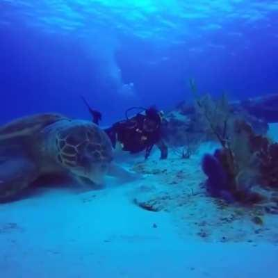 A sea turtle at lunch (human for scale)