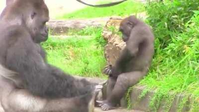 It's not unusual for Silverbacks to be affectionate father figures. Shabani just takes that up to 11