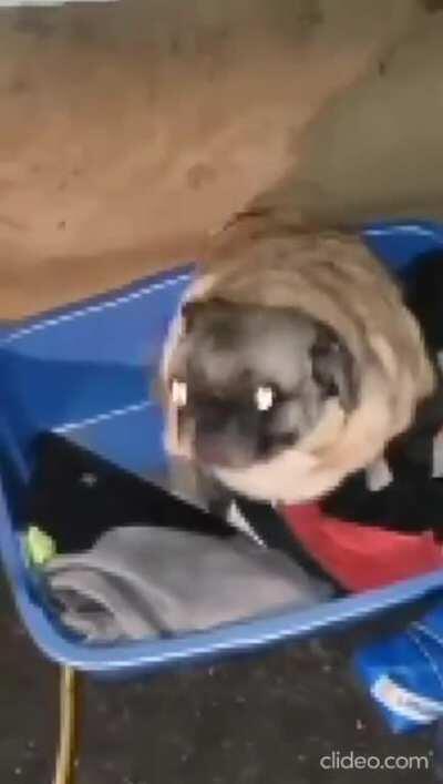 Heck it, Pug Vibing to SSB Gogeta Theme