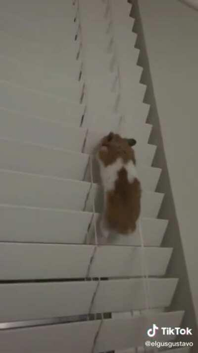 Gus the hamster inspires the world on his dangerous journey up the blinds
