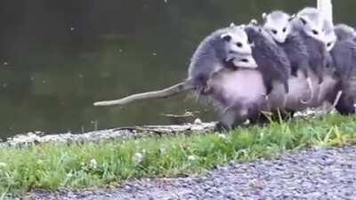 🔥 Possum mom carrying her babies
