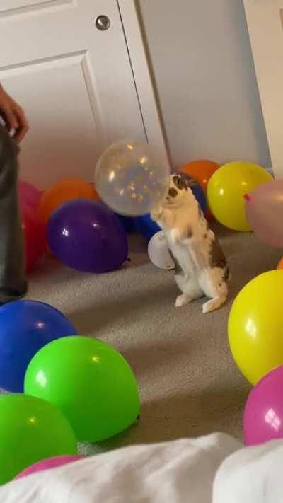 She broke in. So determined to get to the balloons.