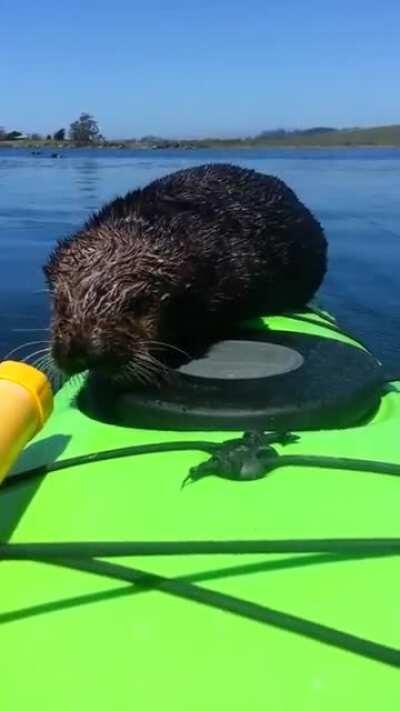 Baby otter climbs aboard a kayak