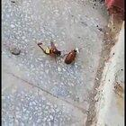 What this wasp does to this cockroach