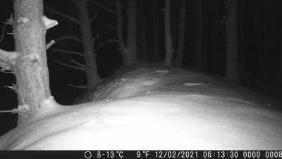 Wildkamera hat einen Wolf erwischt. Könnt ihr erkennen was der da jagt?