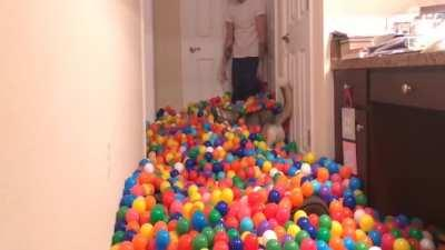 Playful Huskey in a Ballpit