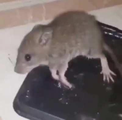 RAT!!!!