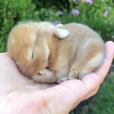 Holland lop rabbit; extremely smol and extremely cute