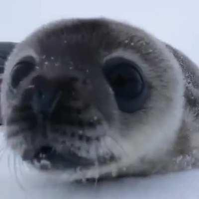 Seal baby to the rescue!