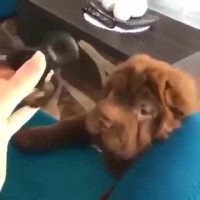 Pupper gets bamboozled