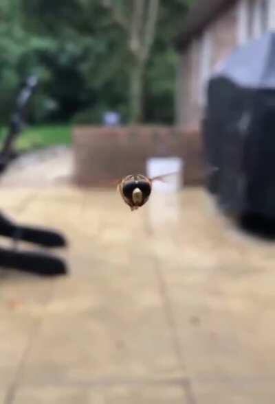 Bee buzzing.mp4