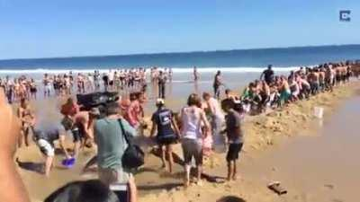 these tourists helping a shark that went offshore by dragging a 1500 pound shark back to the ocean