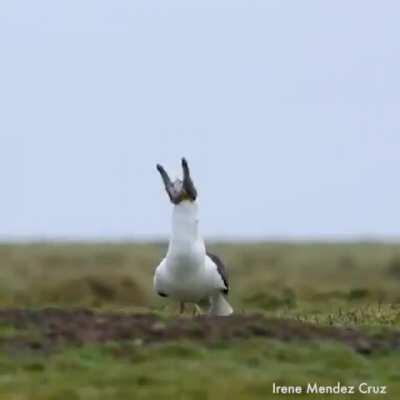 Seagull swallows baby rabbit WHOLE