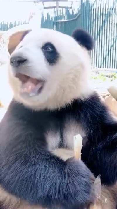 The way this panda eats bamboo