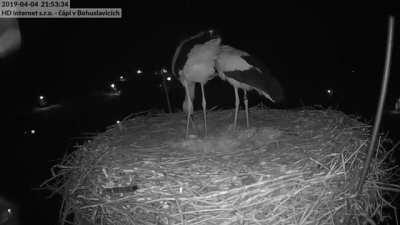 stork couple celebrate their first egg