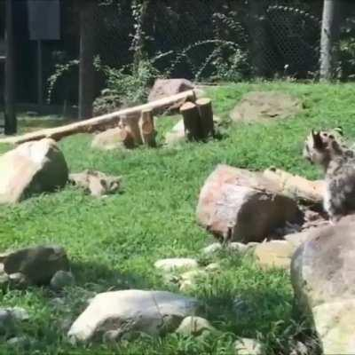 Snow leopard mom pretending to be scared when her cub sneaks up on her to encourage them to keep practicing their stalking skills