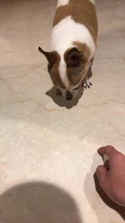 Smol Dog Big Temper