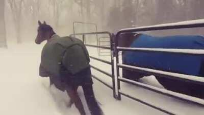 Letting the horses out in the snow
