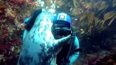 Seal approaches a diver and hugs him.
