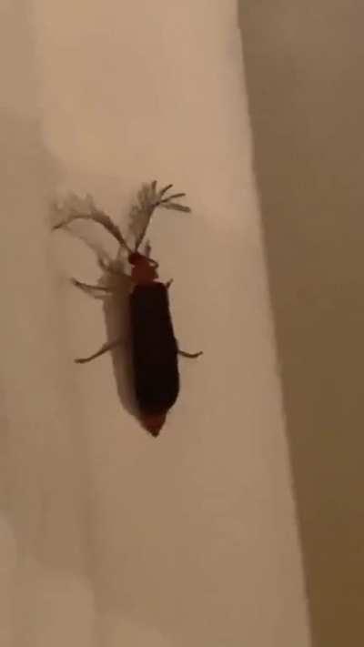 Eyelash bug
