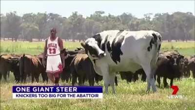 This giant ass cow.