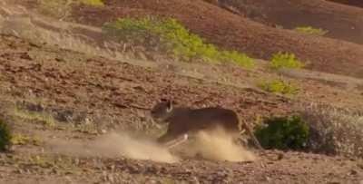 Lioness failed hunt