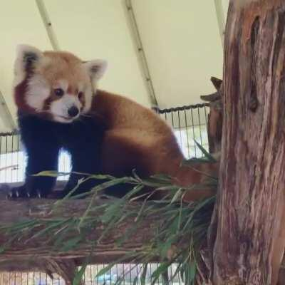 Red panda sounds! Rusty chitters at Priya... and she growls back with 100% sass 😅