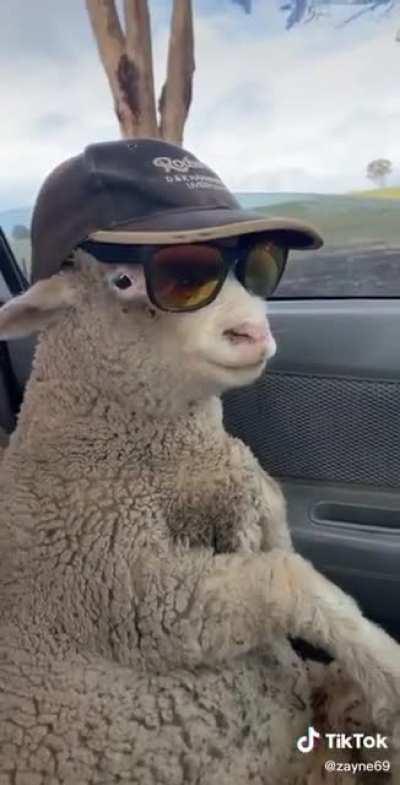 He's a bit sheepish
