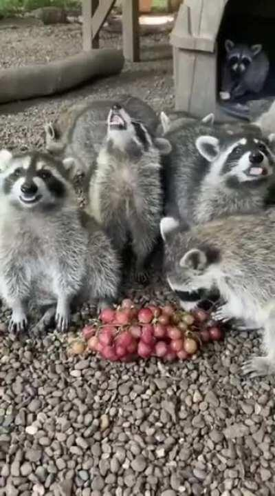 Hungry racoons