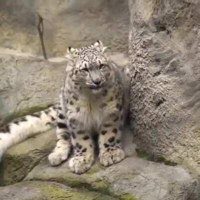 Ferocious roar of snow leopard.