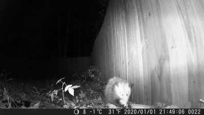 I befriended my backyard Possum! Thank you @Opossum_2020 for all your help, it worked!btw this amazing trail cam is only 30$ on amazon and has amazing resolution. I get up so early now because I'm excited to see what the Possums have been up to