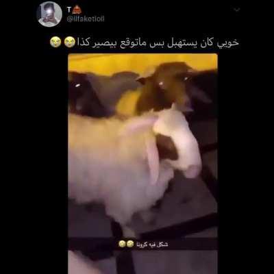 Corona sheep