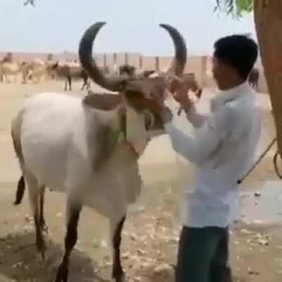 Cow comes to the rescue against (staged) violence