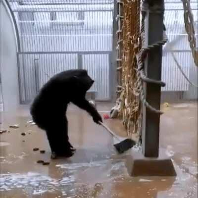 Chimpanzee cleaning his enclosure after zookeeper forgot there his cleaning brush.