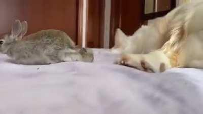 Cute baby bunnies think the Golden retriever is their mother 🥺🐶🐇🐇🐇🐇