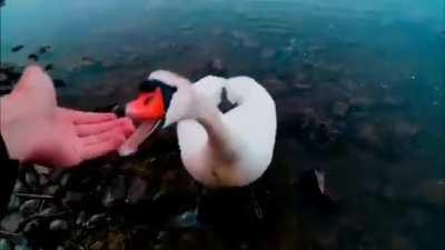 Big seagull bites